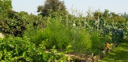 Mother Lode's vegetable garden
