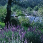 Tent camping among the lupines at Mother Lode River Center.